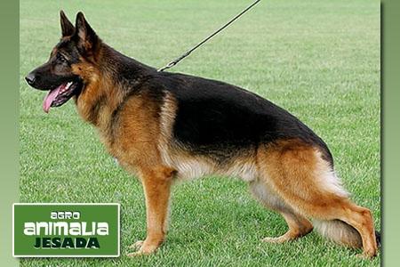 Cachorro de Pastor Alemán por 360€ en Animalia Jesada de Olula del Río
