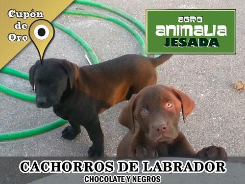 Cachorros de Labrador en Animalia Jesada. Mascotas y Animales Olula del Rio