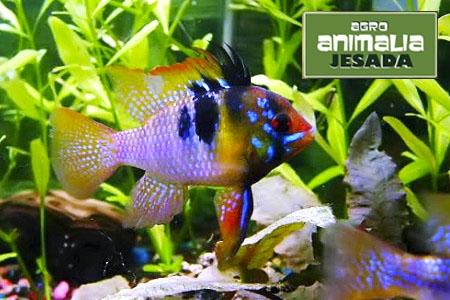 Consigue ahora en Animalia Jesada de Olula, Pez Ramirezi azul por sólo 2.49 euros
