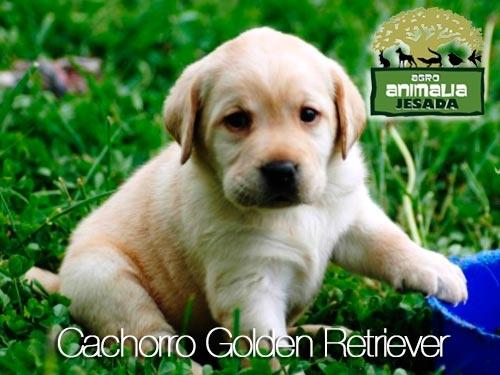 Cachorros Golden Retriever a un precio que….no sólo podrás comprar uno en Animalia Jesada - Olula del Rio